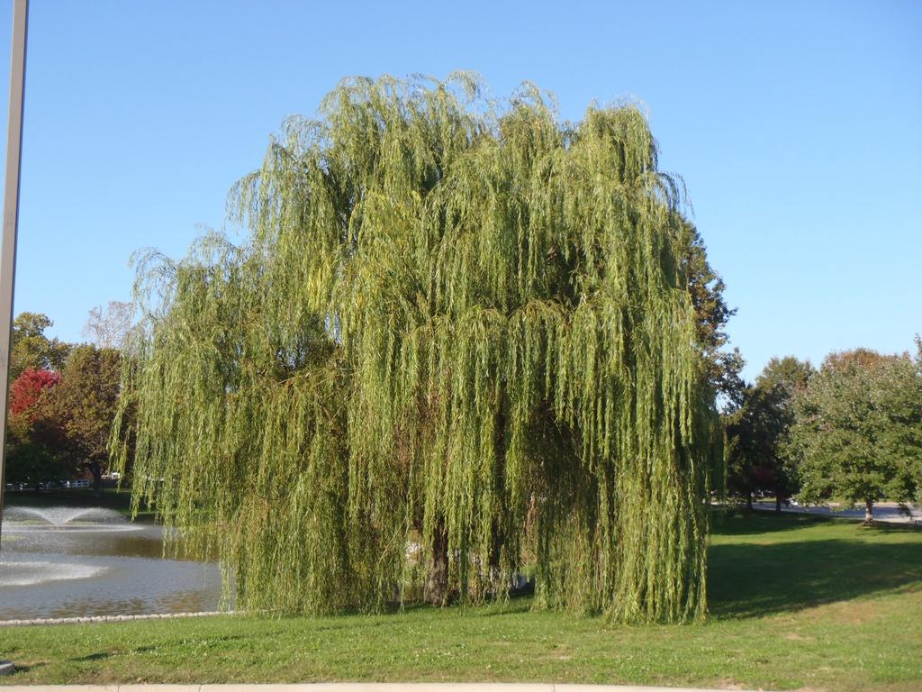 Salix alba 'Tristis' Form