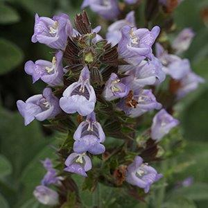 Salvia officinalis Berggarten
