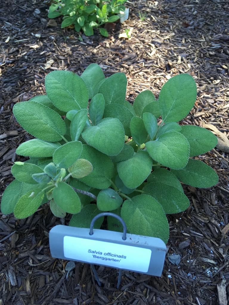 'Berggarten', form, Wilson Botanical Garden, Wilson County, NC