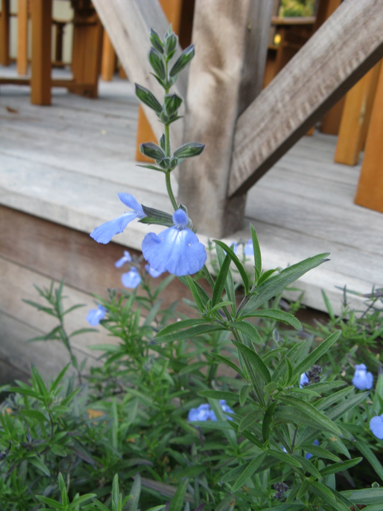 Salvia azurea flowers and leaves