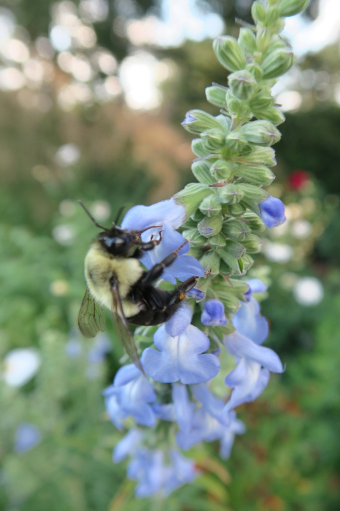 Salvia azurea 'Nekan' flowers with bee