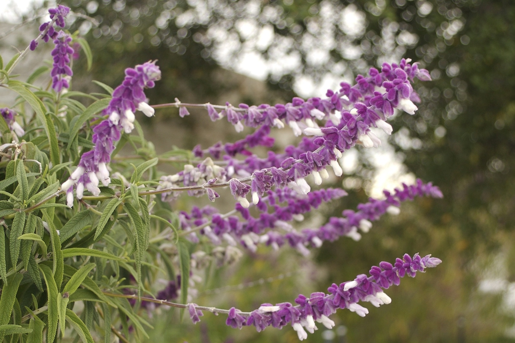 Salvia leucantha purple and white flowers