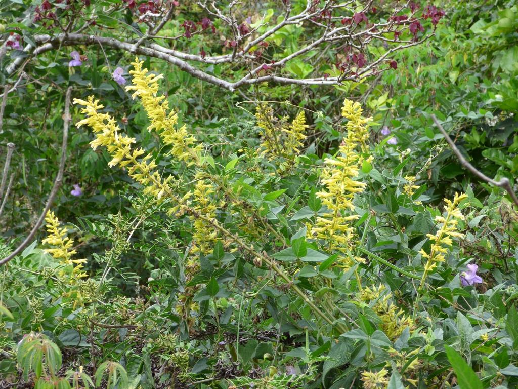 Salvia madrensis