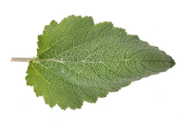 Salvia sclarea leaf