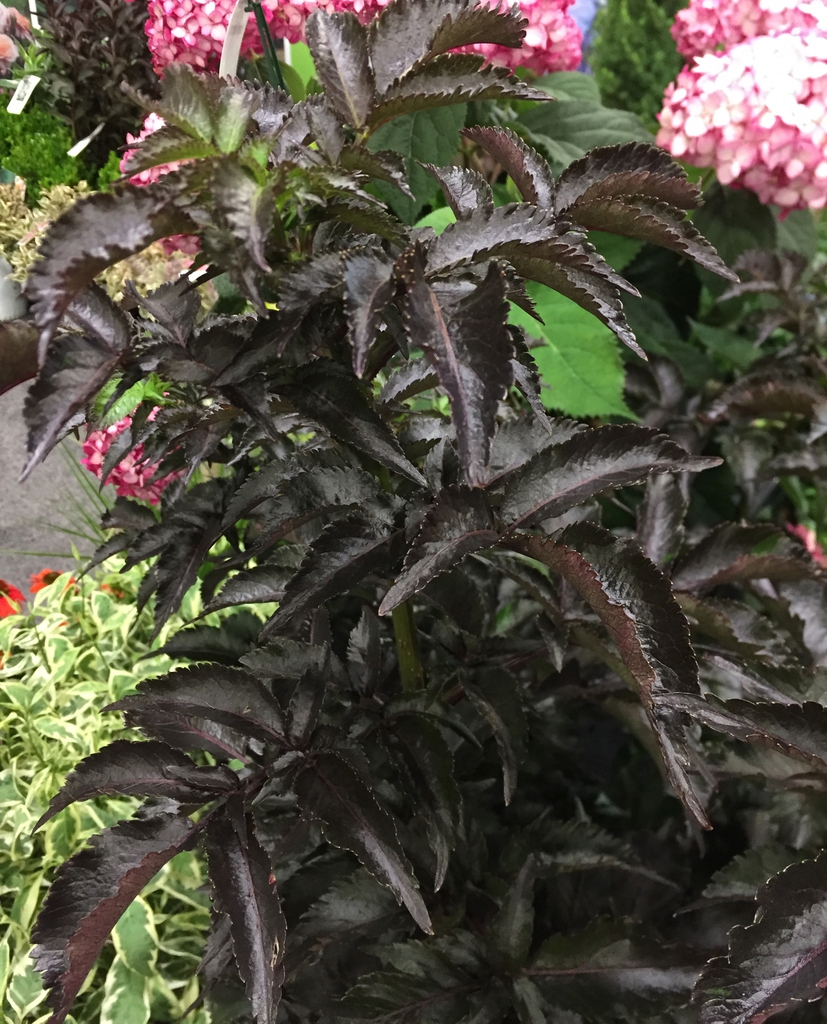 Sambucus racemosa Black Tower