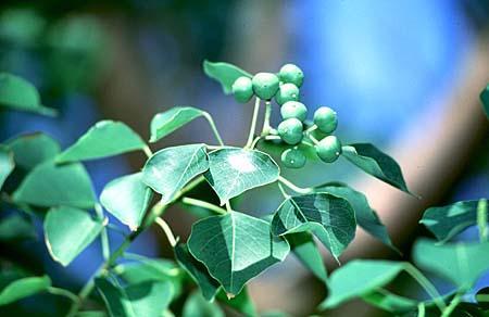 Sapium sebiferum