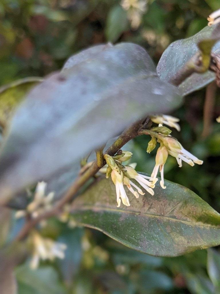 Sarcococca hookeriana