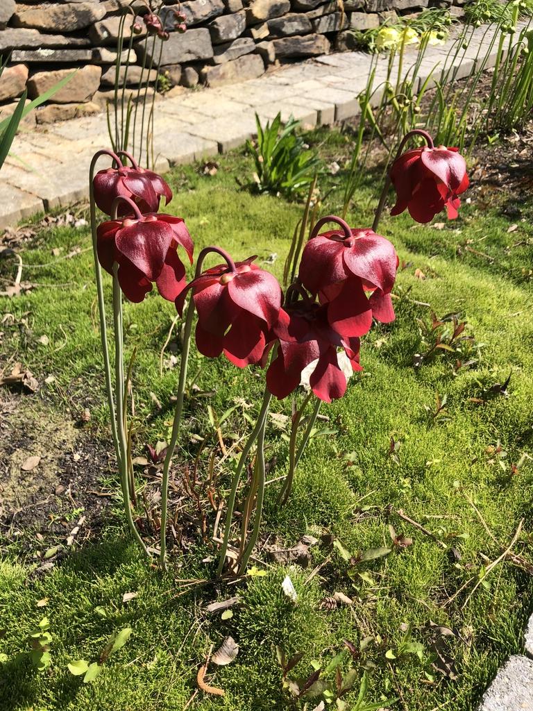 Serracenia x excellens in Spring