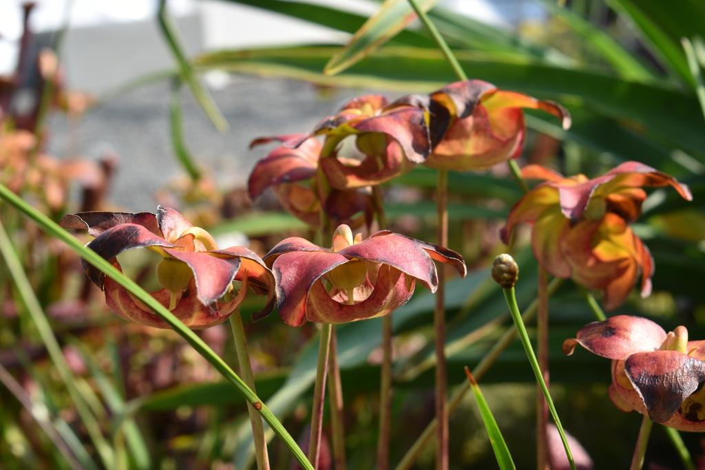 x wrigleyana 'Scarlet Belle' - Flower - Wake Co., NC