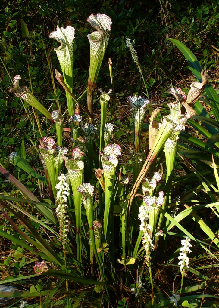 Spiranthes ssp. with Sarracenia ssp. in summer in Moore County