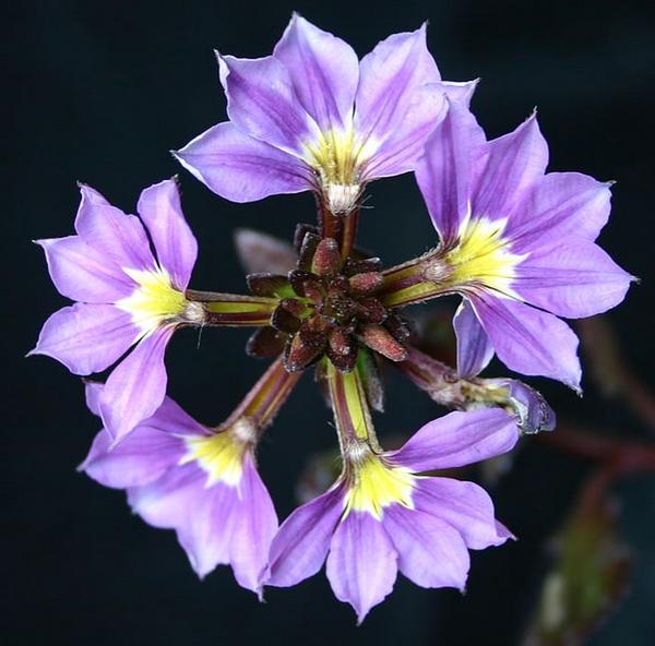 'Bombay Lavender' flower