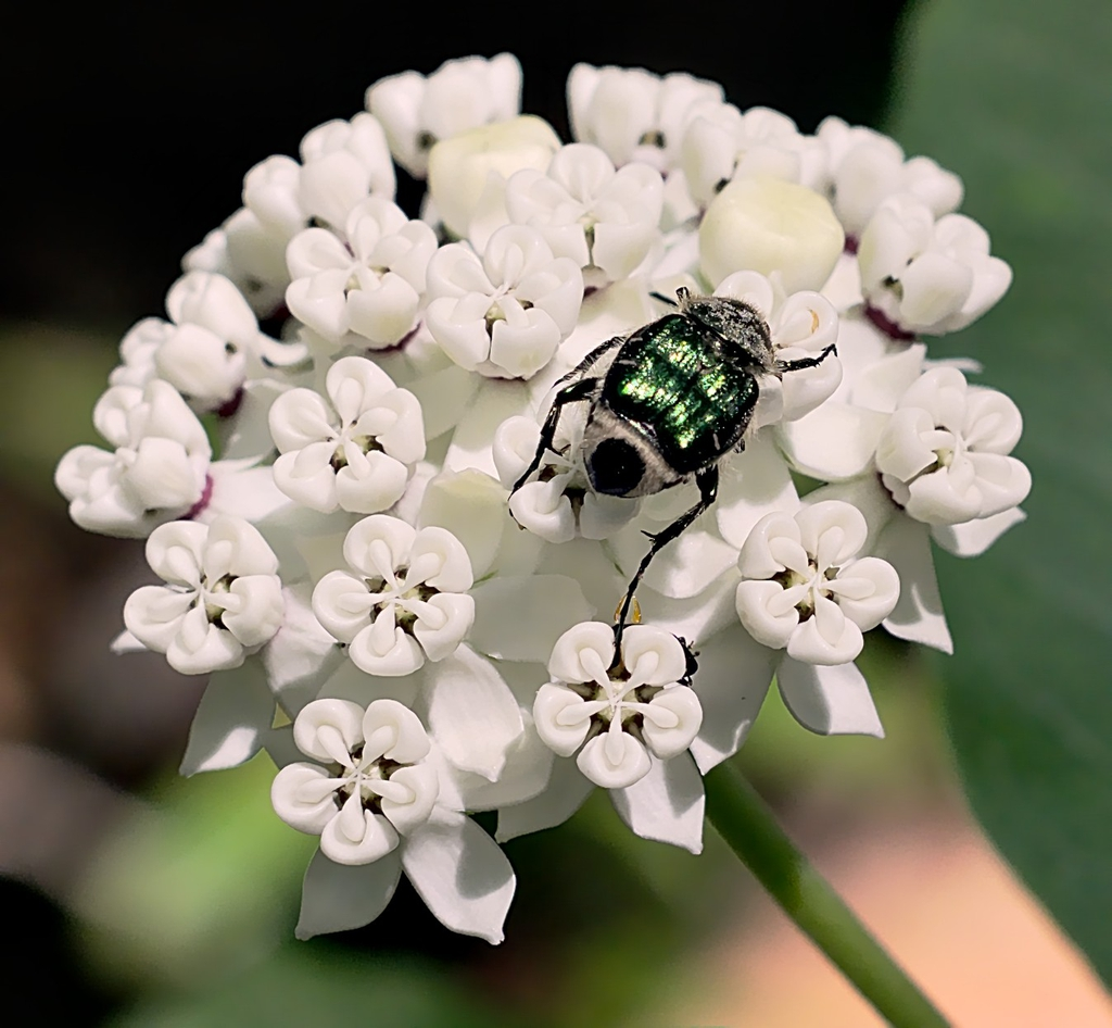 A scarab beetle on Asclepias variegata flowers.