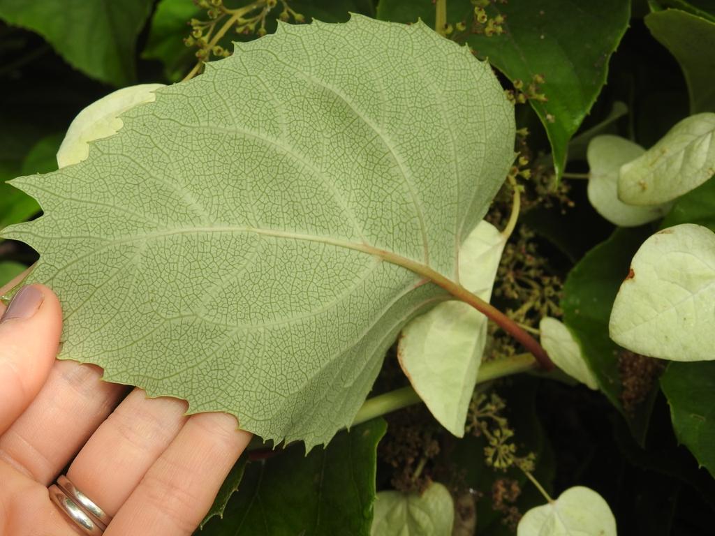Schizophragma hydrangeoides leaf back summer