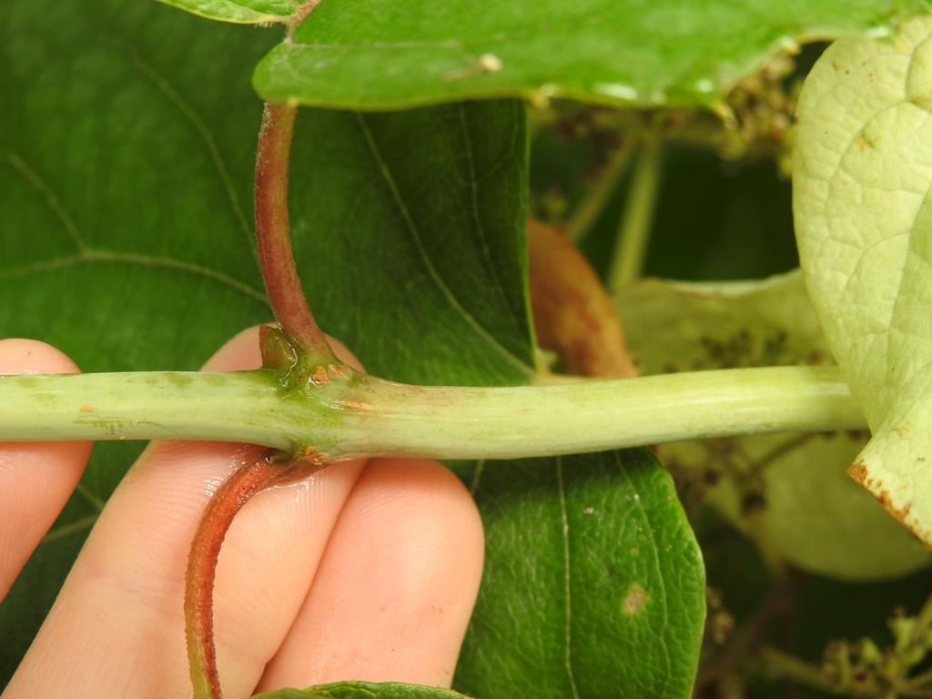 Schizophragma hydrangeoides stem bud summer
