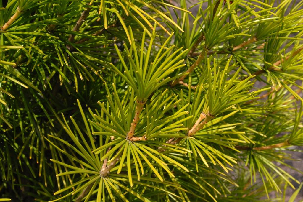 Sciadopitys verticillata Leaf