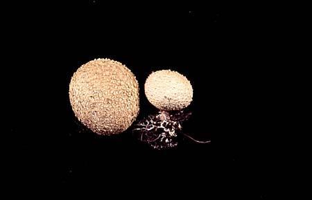 Scleroderma aurantium