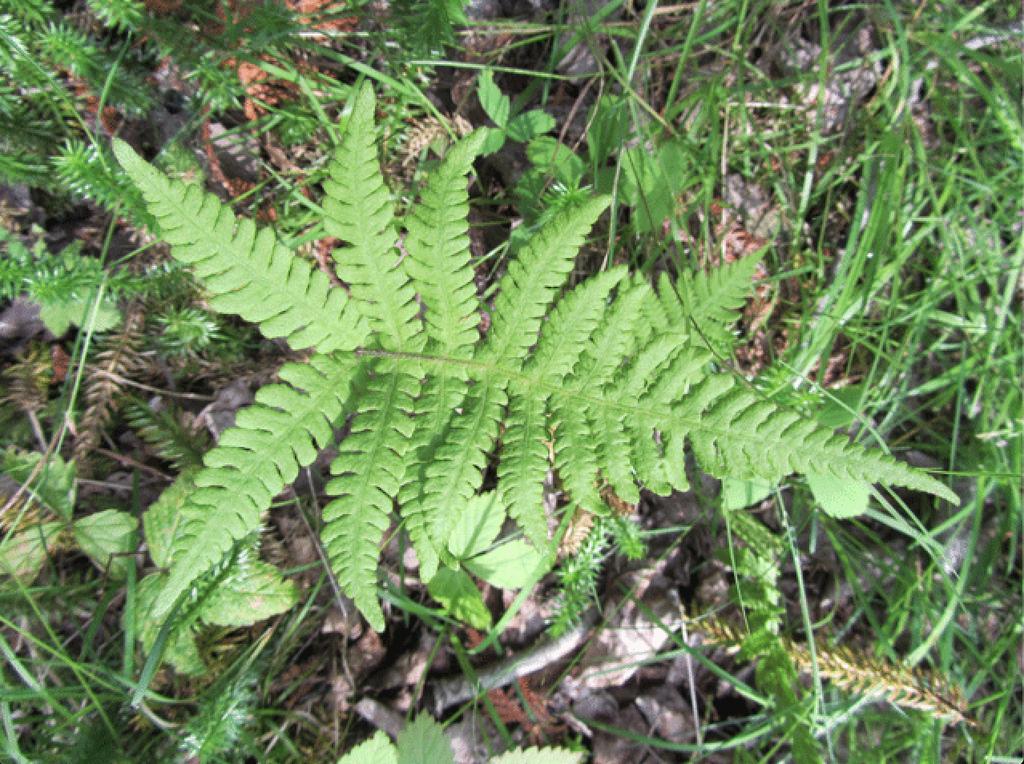 T. hexagonoptera