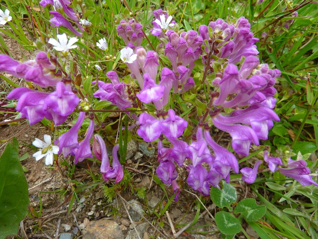 Scutellaria pontica