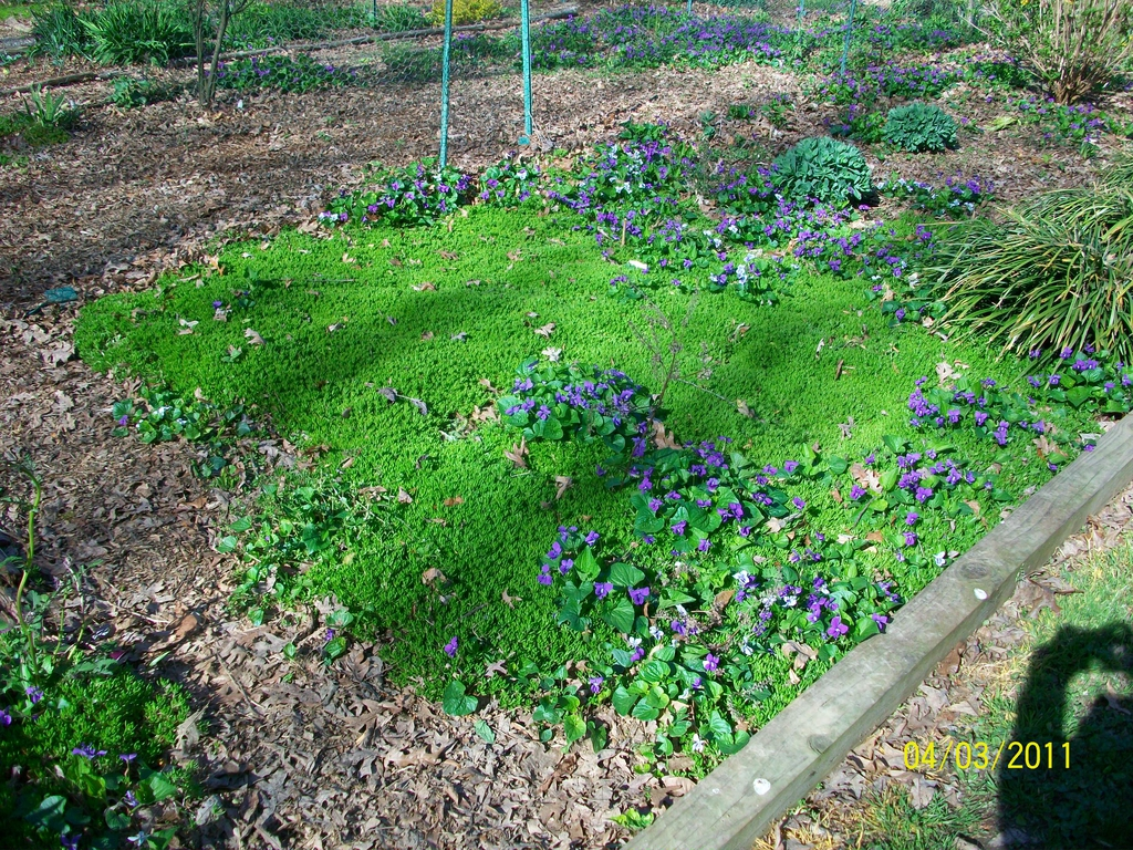 Sedum carpet with Viola blooms, spring, Iredell County, NC