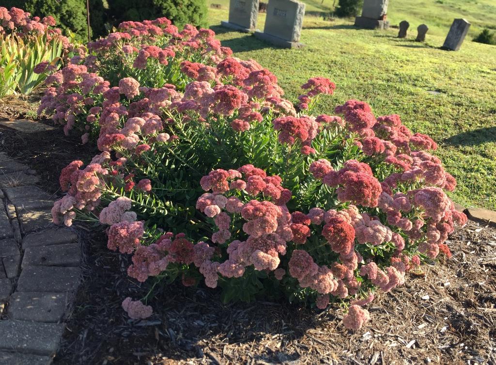 'Autumn Joy' Bloom and form