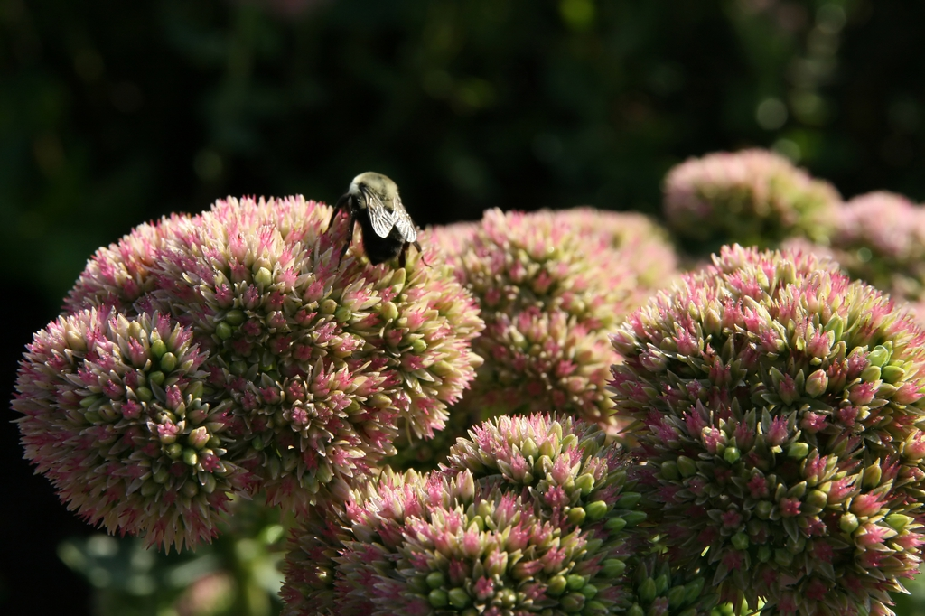 Sedum spectabile 'Autumn Joy' flower with bee