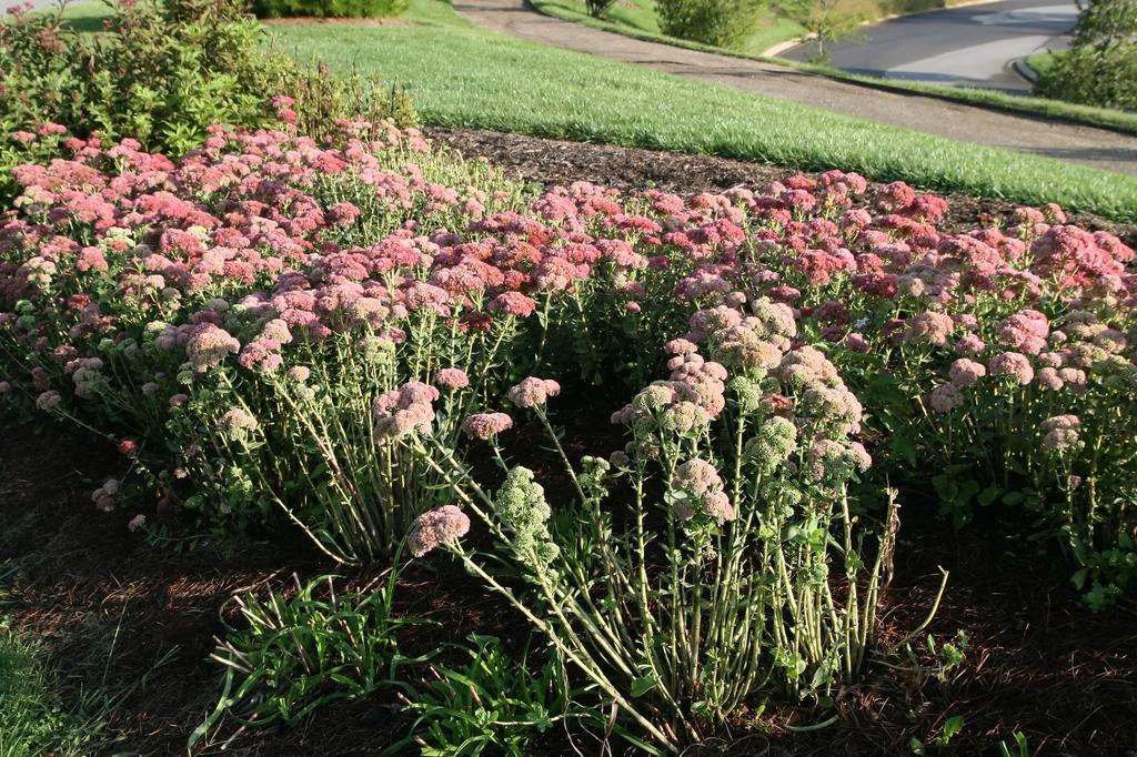 Sedum spectabile 'Autumn Joy' mass planting