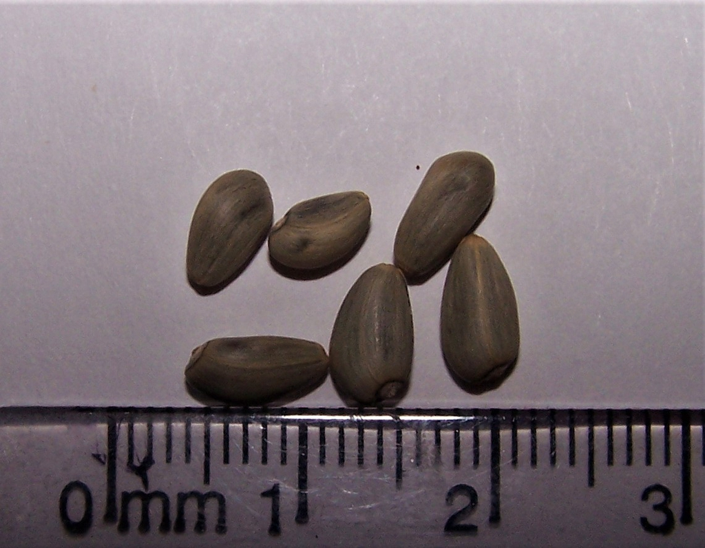 Cynara cardunculus