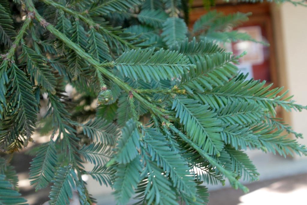 Needled evergreen leaves.