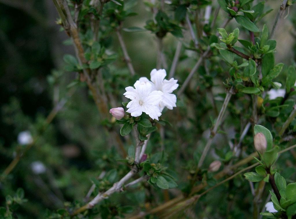 Flowers, buds, stems