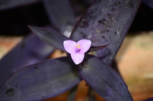 Setcreasea pallida 'Purple Heart'
