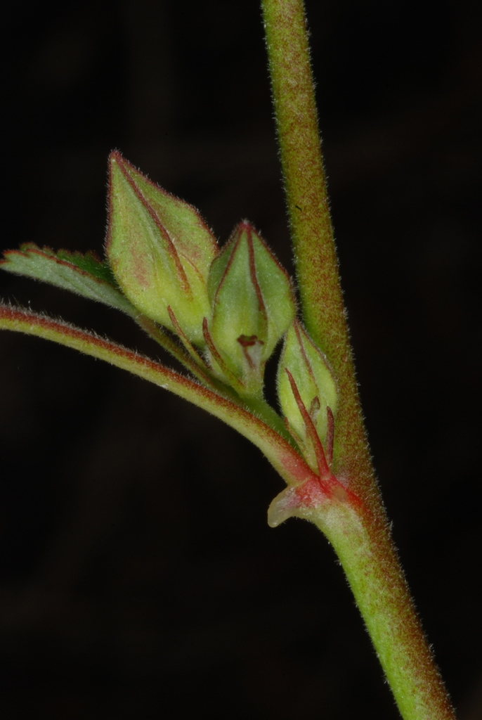 Hairy stem and buds (Guilford County, NC)-Late Summer