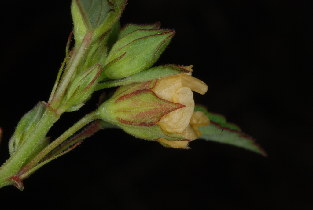 Side view of flower (Guilford County, NC)-Late Summer