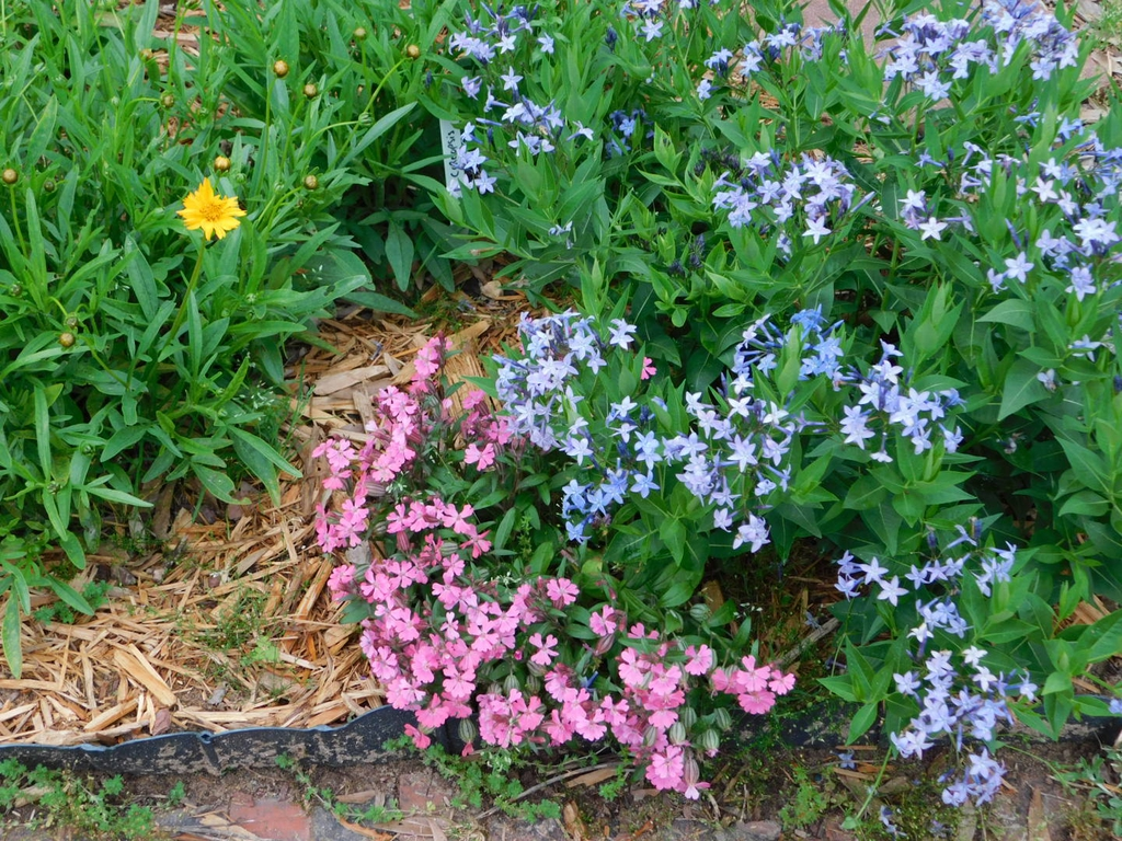 In the landscape with coreopsis and amsonia