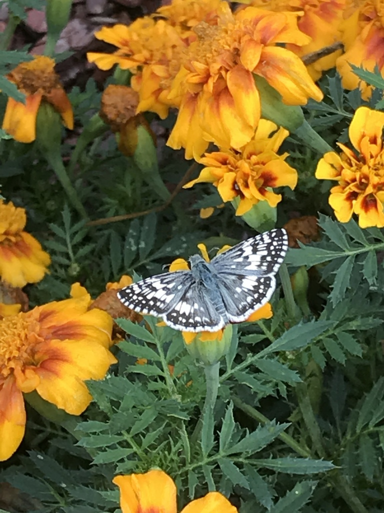 Checkered skipper on a flower