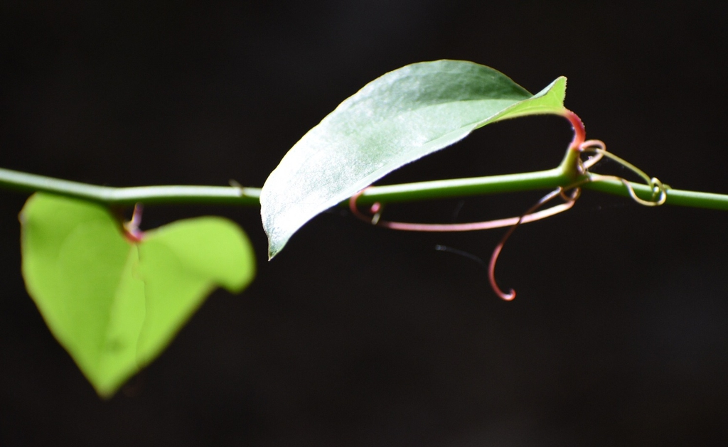 Smilax rotundifolia