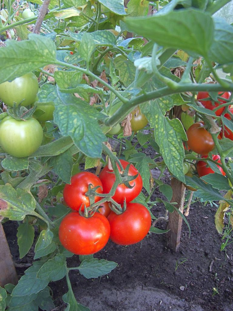 Solanum lycopersicum 'Cronos'