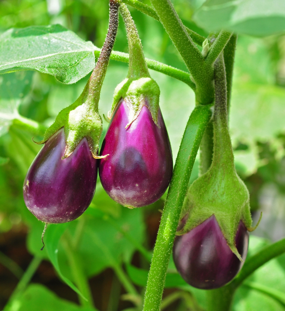 Solanum melongena fruits growing