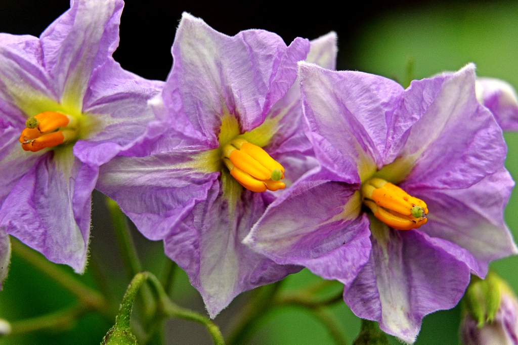 Solanum tuberosum's flowers