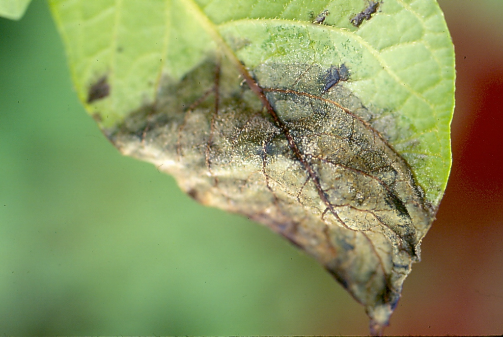 Solanum tuberosum with late blight