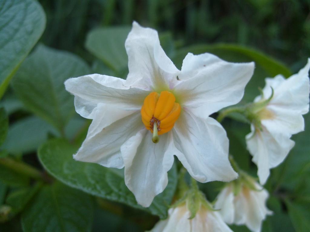 Solanum tuberosum's flower