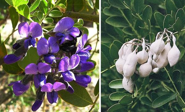 Sophora secundiflora