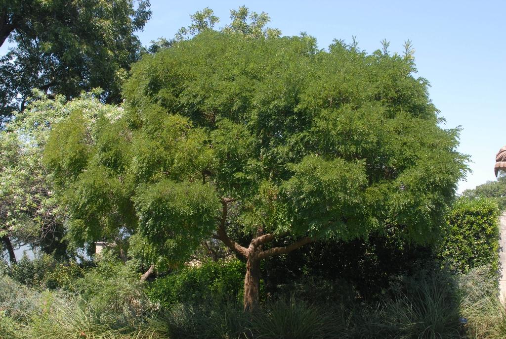 Sophora affinis