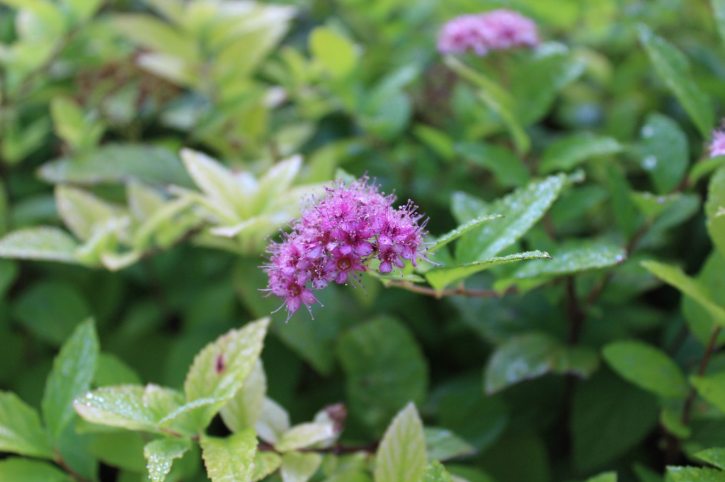 Spiraea japonica 'Gold Mound' flowers