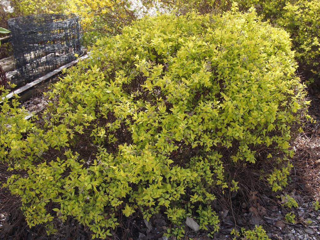 Spiraea japonica 'Gold Mound'