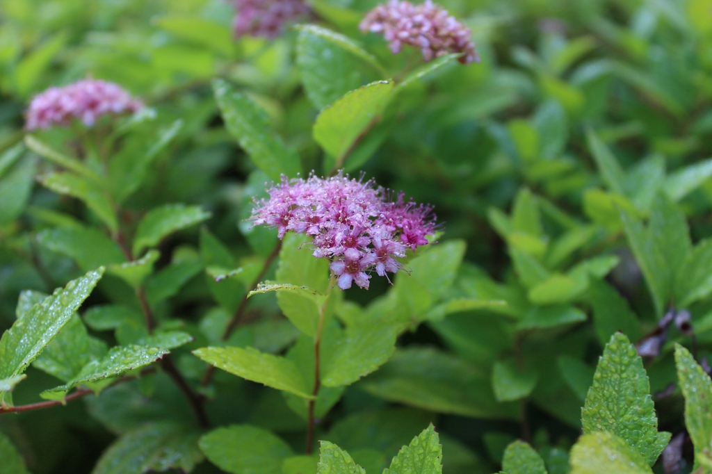 Spiraea japonica 'Gold Mound' leaves and flowers