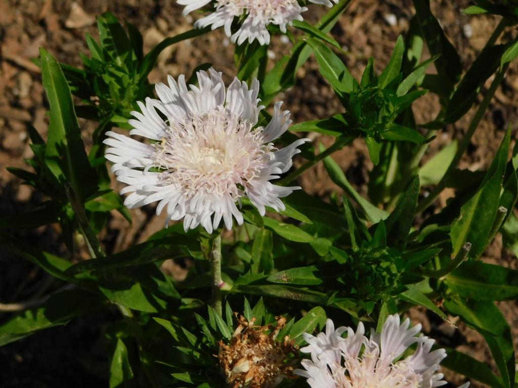 'Divinity' flower
