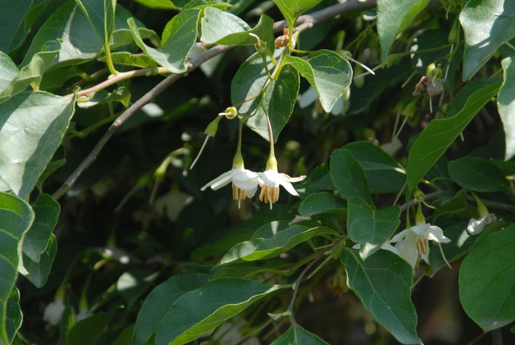 'Pendula' Flower