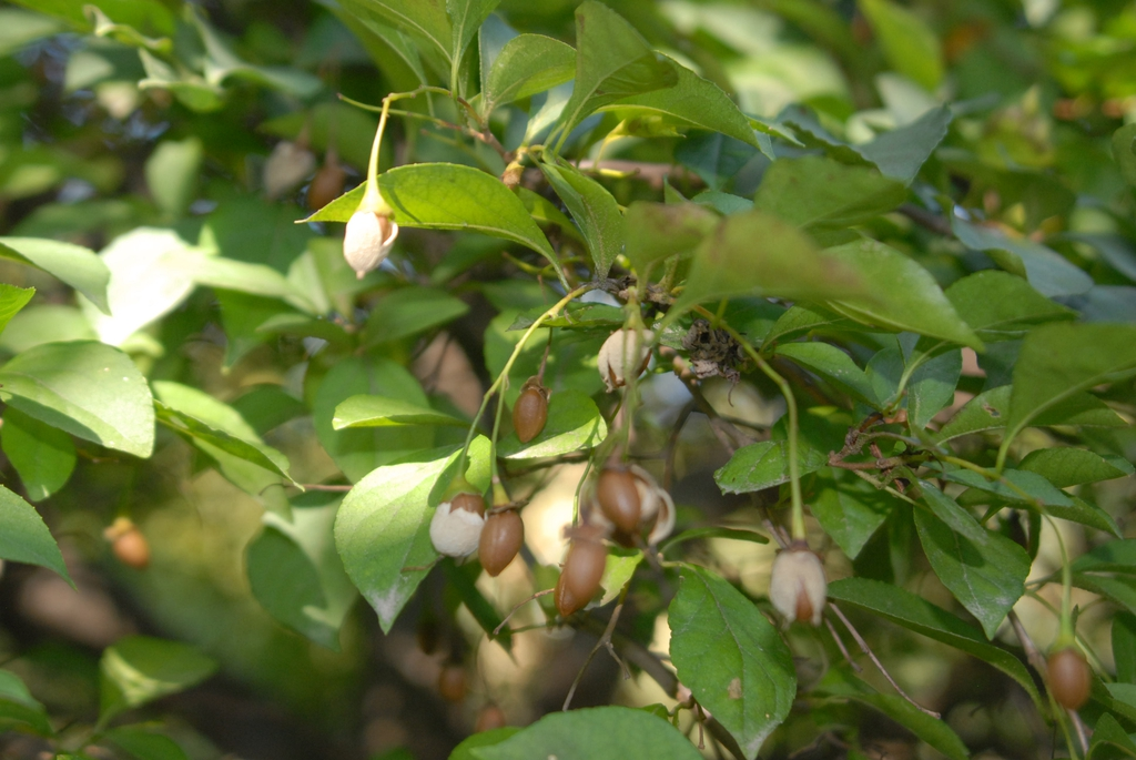 'Pendula' Fruit