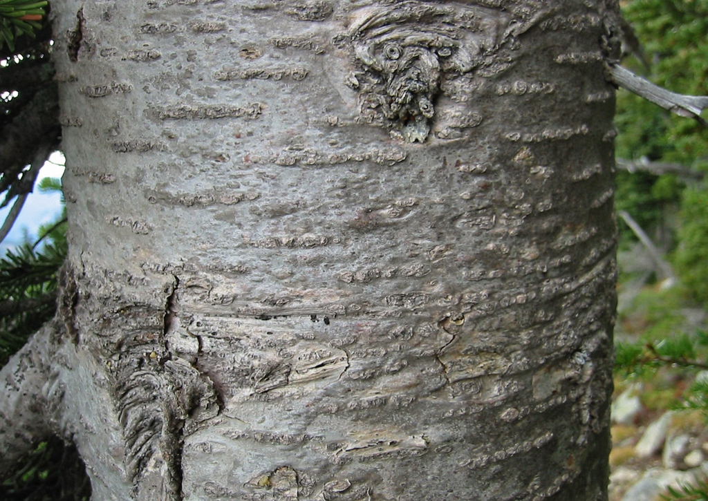 SubalpineFir bark