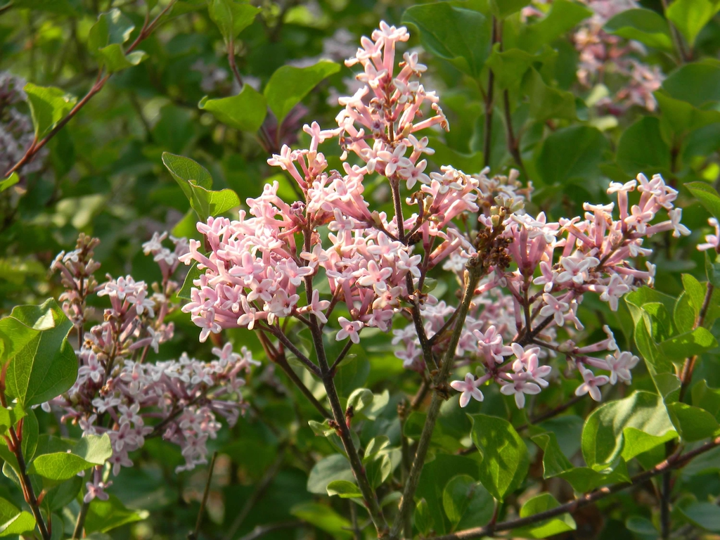 Syringa pubescens subsp. pubescens